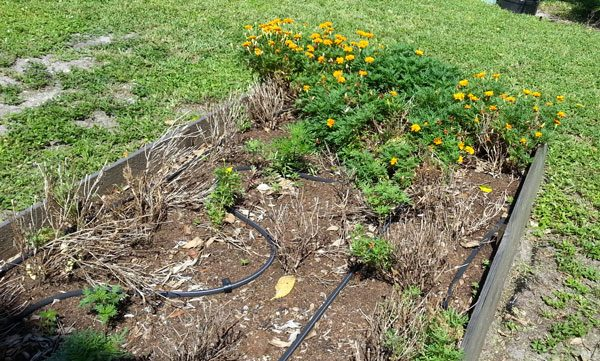 Many marigolds didn't make it.